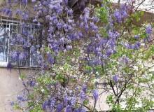 Цветущая виноградная лоза...
